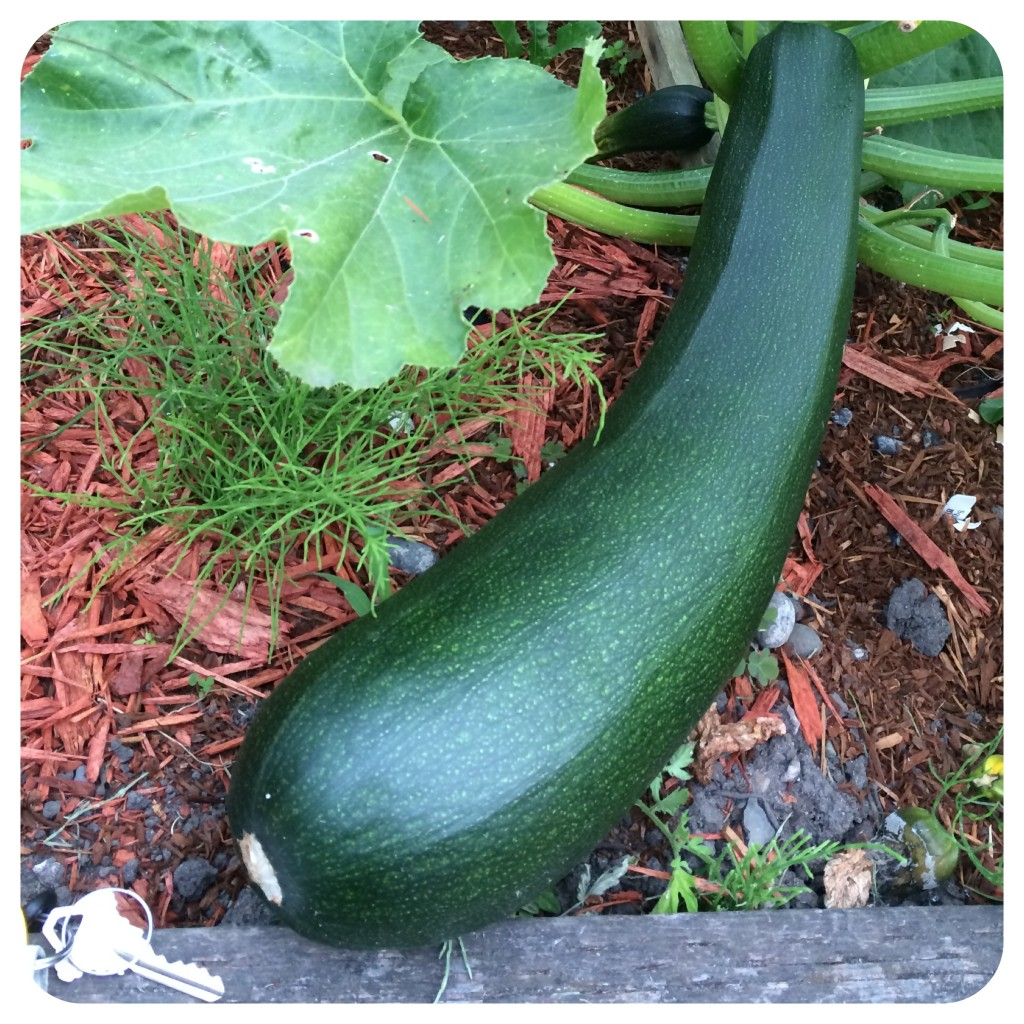 Giant homegrown zucchini! See: key for scale in corner.