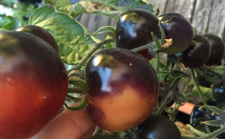 Indigo rose tomatoes were developed at Oregon State University for more antioxidants (Photo: Yiling Wong, Aug 26, 2016)