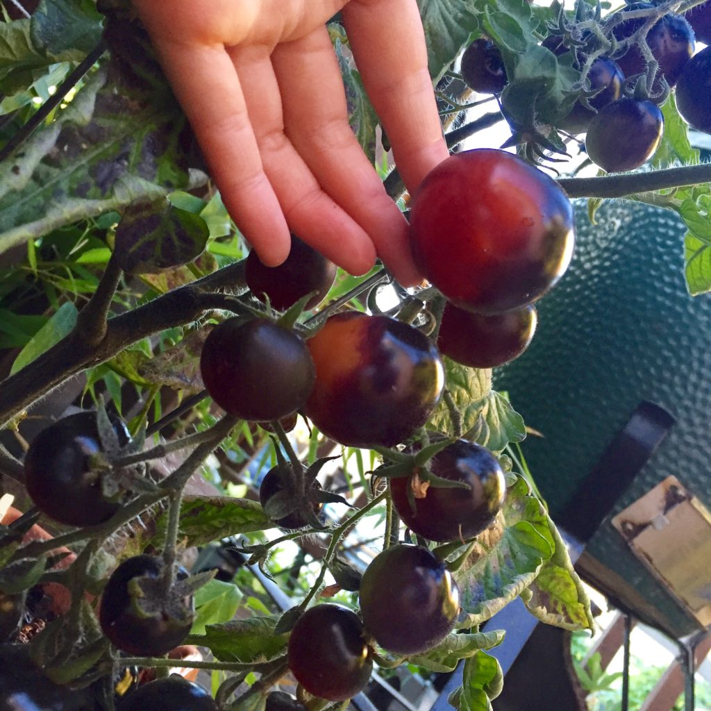 Indigo Rose tomatoes (developed by Oregon State) started ripening to violet-red just in time! Started using them for this recipe, and the next morning some critters had already started chomping on them!